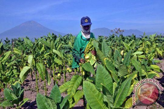 Ganjar minta pabrikan segera beli tembakau petani