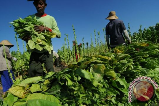 KTNA : jangan paksa petani tembakau pindah komoditas
