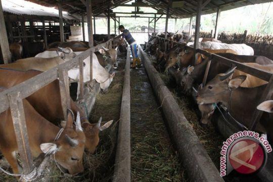 Indonesia diproyeksikan miliki sapi wagyu pada 2019