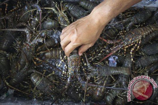 Balai Karantina Ikan pamerkan lobster layak ekspor
