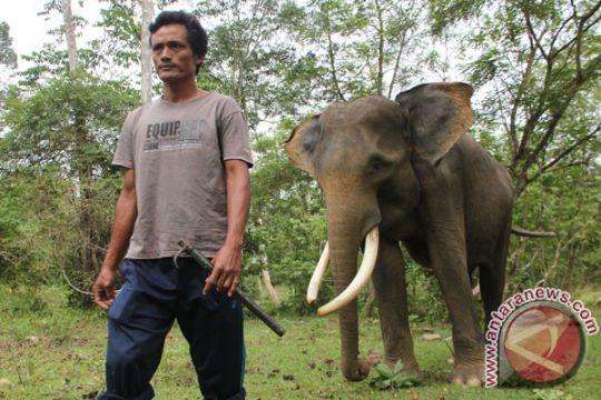 Gajah Bengkulu berpotensi kawin sekerabat
