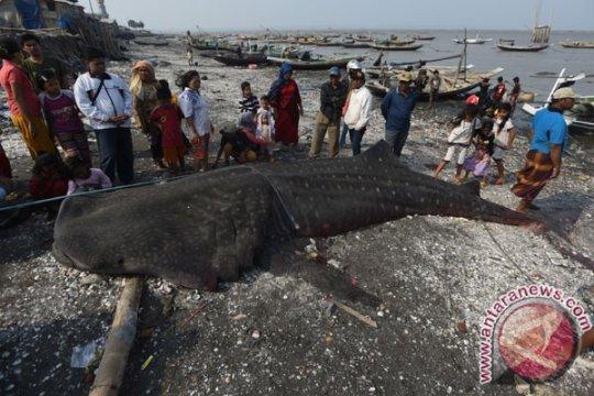 11 bangkai hiu ditemukan di Raja Ampat