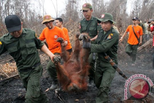 Seekor orangutan dievakuasi akibat kebakaran lahan