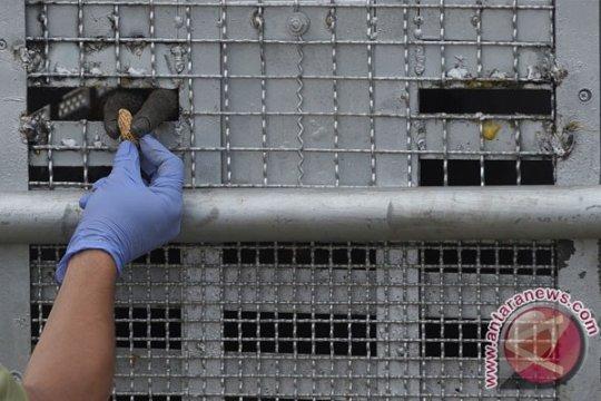 Orangutan pemulangan dari Thailand sulit dilepasliarkan