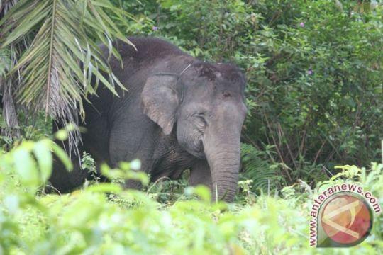 Kawanan gajah liar merusak kebun kelapa warga Pekanbaru
