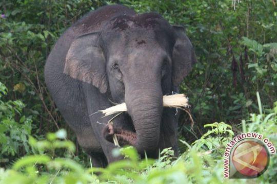 Belasan gajah masih berkeliaran di permukiman warga Nagan Raya