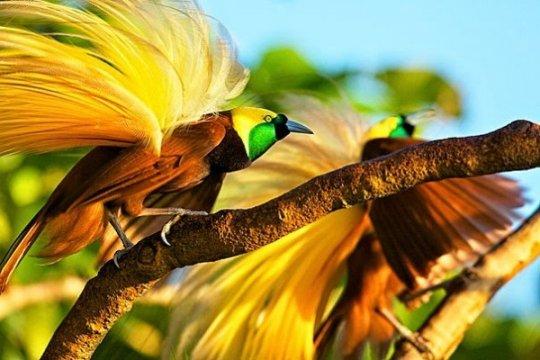 "Banyak Burung Cenderawasih ""menari"" di Hutan Warkesi Raja Ampat"