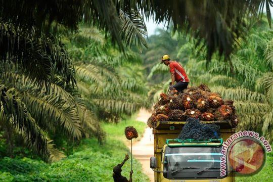 Tingkat produksi, 745 hektare perkebunan sawit diremajakan