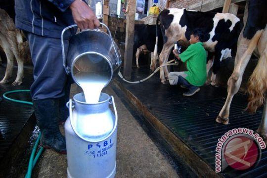 Dosen UMM temukan krim anti-mastitis untuk sapi perah