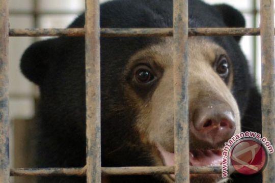 Beruang madu korban jerat di Indragiri Hilir dilepasliarkan