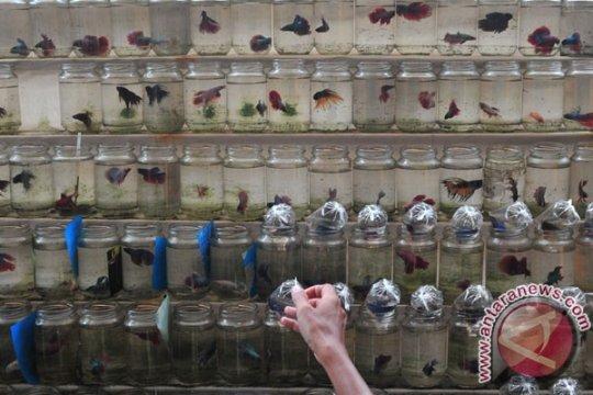 10.000 ikan tempalo dibagikan untuk cegah DBD