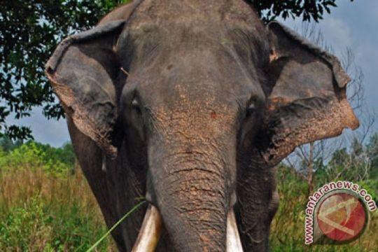 Kawanan gajah yang masuk perkebunan digiring ke hutan Minas