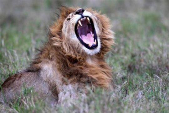 Singa yang berkeliaran lukai tiga orang di Malawi