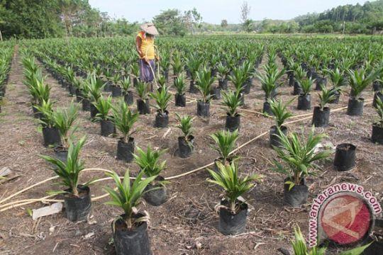BPDP-KS dorong peningkatan produktivitas sawit rakyat