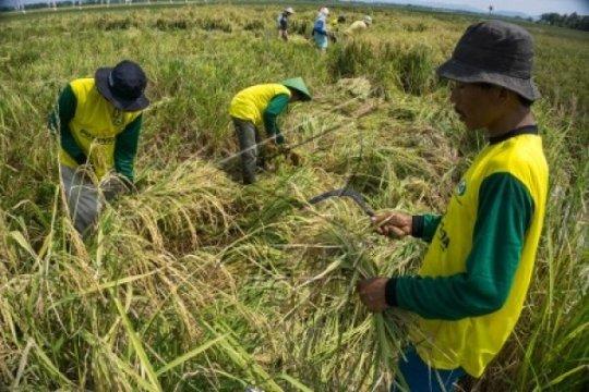 Peneliti: penggunaan benih hibrida tingkatkan produktivitas beras