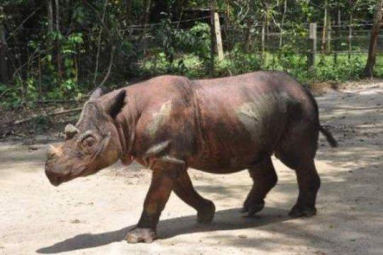 BKSDA pantau pergerakan badak sumatera di Mahakam Ulu