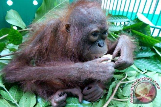 Kisah kepedulian pedagang kain pada orangutan di Antang Kalang