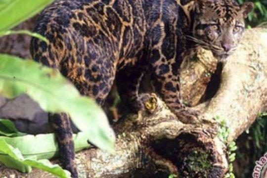 BKSDA Agam duga tiga ekor kambing mati karena dimangsa macan dahan