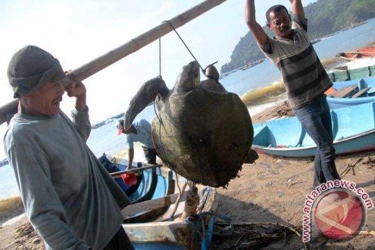 Di pesisir Tulungagung indukan penyu bertelur turun drastis