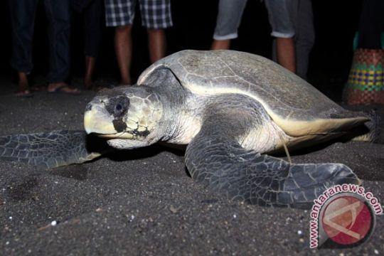 Penyu dilindungi ditemukan mati di pantai Jembrana