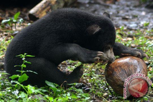 Warga serahkan sepasang beruang ke lembaga konservasi