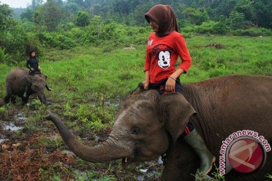 Konflik Gajah di Riau akibat kerusakan parah lanskap Tesso Nilo