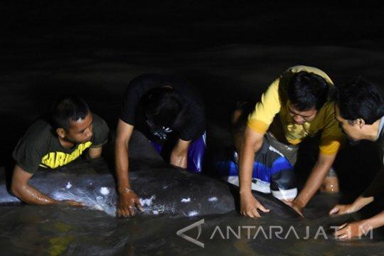 Seekor lumba-lumba mati dekat proyek PLTU Bengkulu