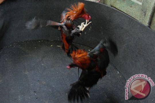 Judi sabung ayam masih marak di Pamekasan