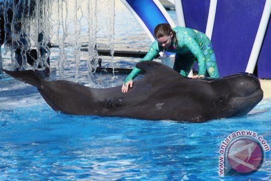 Bubbles, paus pilot tertua di SeaWorld San Diego mati