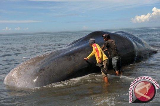 270 paus terdampar di pesisir Pulau Tasmania