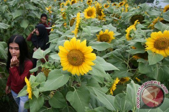 Setelah viral, generasi milenial berdatangan lihat Bunga Matahari Tabanan