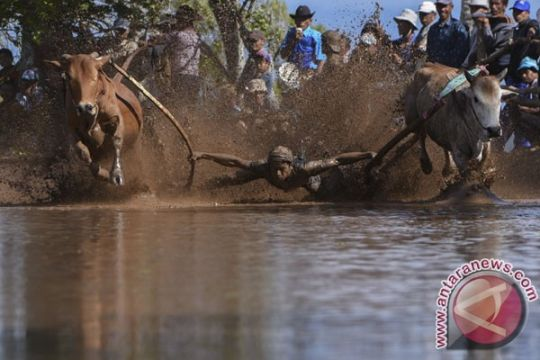 Bupati Tanah Datar minta keunikan pacu jawi tetap dilestarikan