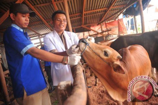 Satu sapi kurban belum diperbolehkan disembelih