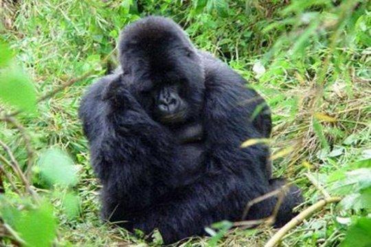 Gambar diri sepasang Gorilla DRC viral di Internet