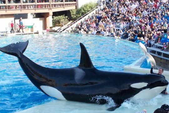 Paus orca tidak boleh lagi di penangkaran