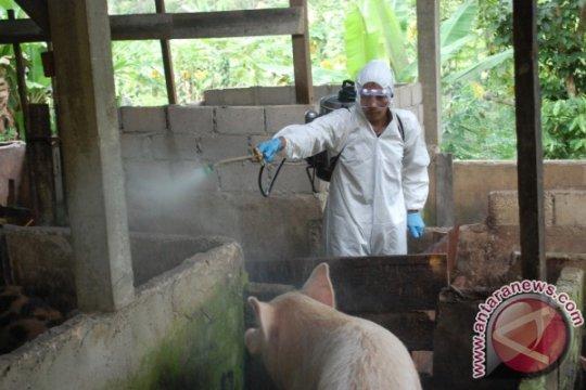 Balai Veteriner Lampung temukan virus flu babi Afrika di Bangka