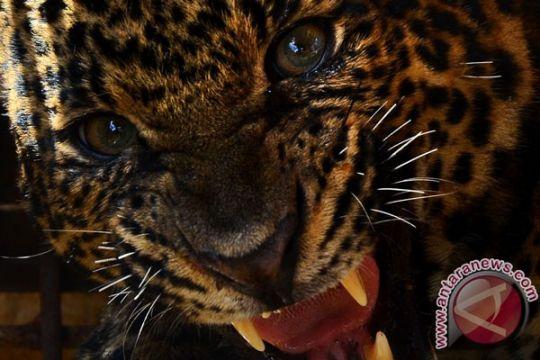 Macan tutul Lawu dimasukkan ke Taman Satwa Taru Jurug