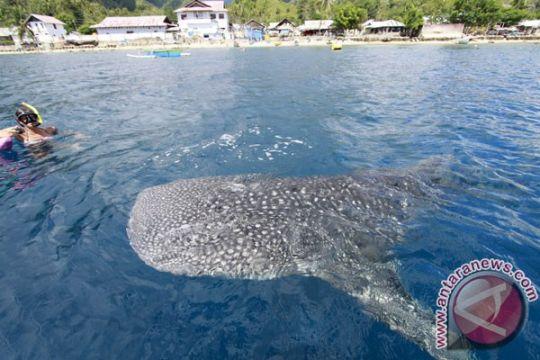 Hiu paus terdampar di laut Palabuhanratu Sukabumi