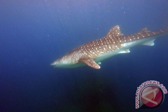 Seekor hiu paus terperangkap jaring nelayan