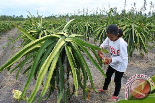 Petani Morowali Utara gencar tanam buah naga