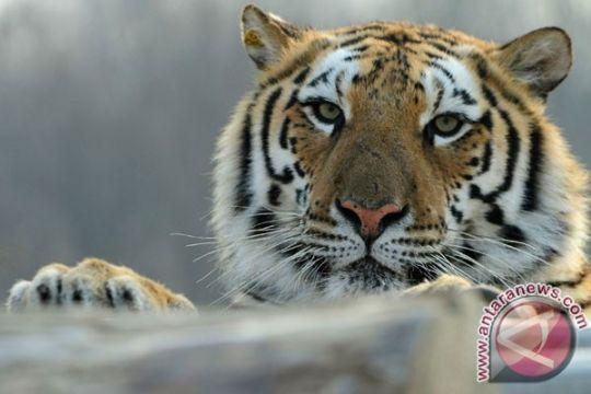 Harimau siberia terlihat di hutan China timur laut