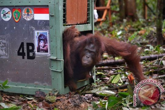 Orangutan berkeliaran di kebun warga ditangkap BKSDA Kalteng