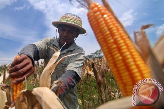Ratusan kera serang tanaman jagung di lereng Sumbing