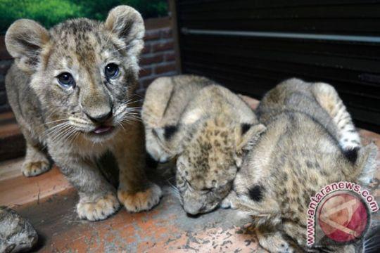 Kebun binatang Gaza jual anak singa karena kesulitan beri makan