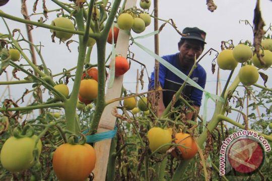 Harga tomat di Pangkalpinang turun jadi Rp9.000