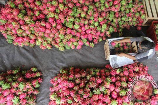 Petani buah naga Kalibawang kebanjiran pembeli