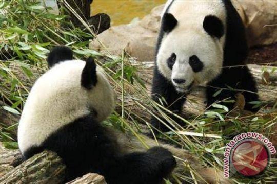 Ibu dan anak panda mati di Kebun Binatang Shanghai
