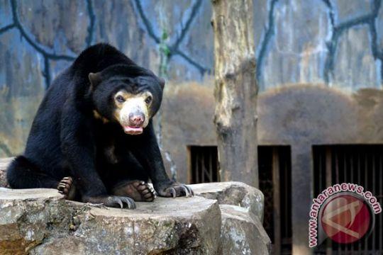Satwa langka beruang madu lahirkan anak di Bandung