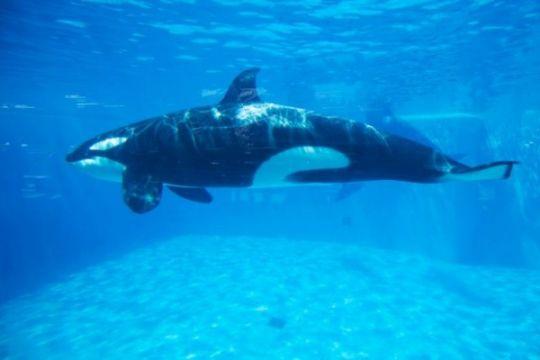 Paus orca di Gorontalo diprediksi jantan