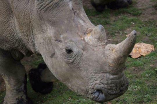 Penyusup tembak mati badak putih di kebun binatang Prancis